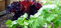 Growing Lettuce for Companion Planting, new article out today from growveg.com. I grow it along my pathways as a little border.