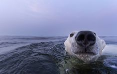 Extremely Intimate Portraits of Polar Bears Swimming - My Modern Metropolis