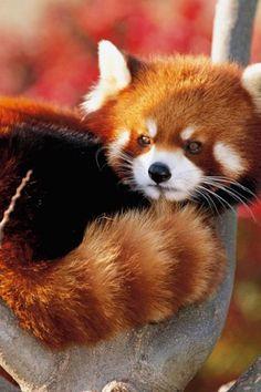 Red, Panda, Fluffy, Animal, Cute
