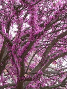 Eastern Redbud Tree has many many cultivars with different color blooms (white to pink/purple) as well as leaves ranging from light yellow/green to burgundy to varigated. Generally hardy from zones Leaves are spade shaped and grow in rows. Trees And Shrubs, Flowering Trees, Trees To Plant, Redbud Trees, Garden Trees, Garden Plants, Outdoor Plants, Outdoor Gardens, Eastern Redbud Tree