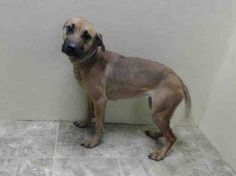 """URGENT--Brooklyn Center MOCHA - A0993116 FEMALE, TAN, PIT BULL MIX, 3 yrs Owner surrender because of """"personal probs"""" -- This girl scored a GREEN on her evaluations! Once a pet and family member and now lingering in a cold shelter. They don't keep dogs very long! Her time could be up any day! https://www.facebook.com/photo.php?fbid=767430816603133&set=a.617941078218775.1073741869.152876678058553&type=3&theater"""