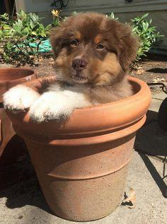 Australian Shepherd Puppy❤️ What a cutie!