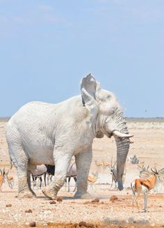 This beautiful African elephant is covered by dust from a dry lake.