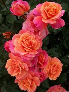 'Disneyland Rose ®' Jackson & Perkins rose.  One day I will have my own yard to grow these in :)
