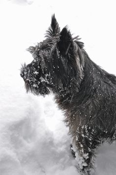 Cairn dogling.