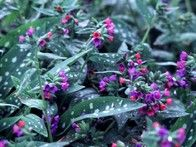 """Long Leafed Lungwort """"Little Blue"""" -- a variety of Lungwort, all do well in the shade, great for mass plantings, these bloom in Spring."""