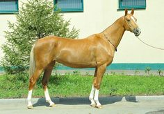 mare Edel — «Saks Stable» She looks pure GOLD, so beautiful
