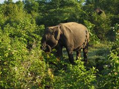 Safari with Indian elephants two hours before surfing, welcome to Sri Lanka. Sri Lanka, Most Visited National Parks, Indian Elephant, Safari, Surfing, Asia, African, Travel, Animals