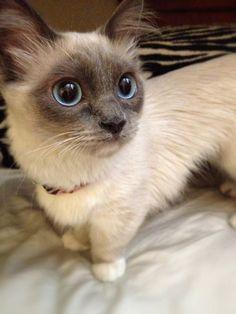 Munchkin Siamese Kitten.