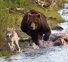 Run, Wolfie, Run!