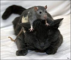 daaaw, rat and cat love