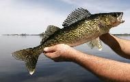 To catch a walleye: 10 tips for the fishing opener - Bass Fishing Shirts - Ideas of Bass Fishing Shirts - To Catch a Walleye: 10 tips for the fishing opener Walleye Fishing Lures, Bass Fishing Tips, Carp Fishing, Best Fishing, Fishing Boats, Fishing Tricks, Fishing Stuff, Fishing Shirts, Fishing Tackle