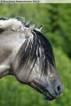 Norwegian Fjord stallion Minor II
