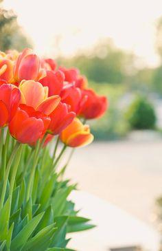 Tulipanes.... unas de mis favoritas.