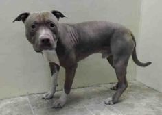 TO BE DESTROYED 4/26/14 rooklyn Center  JAKE - A0995753 **CAME IN AS EUTHANASIA REQUEST** Meet Jake!!! Gorgeous Pit is longing for a forever home. Jake's previous owner surrendered him at our Brooklyn Care Center as a Euthanasia request due to his behavior and medical condition. https://www.facebook.com/photo.php?fbid=787746524571562&set=a.617942388218644.1073741870.152876678058553&type=3&theater