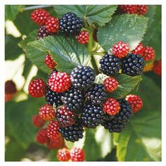 Blackberry Live Plants Fruit Sweet Berry Chester Four Plant Garden Outdoor for sale online Blackberry Plants, Raspberry Plants, Blueberry Plant, Organic Fruit Trees, Thornless Blackberries, Strawberry Tree, Sutton Seeds, Fox Painting, Replant
