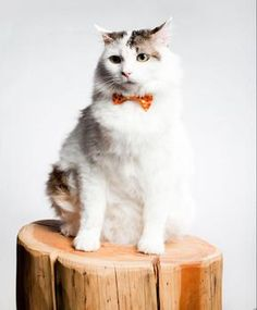 Almond is all dressed up and ready to go home! Adopt this sweet and special guy today. He's a 6 y/o domestic medium hair - learn more and watch his video on our website! Thanks to Sweet Pickles Designs for the bowtie and photo!
