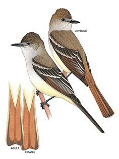 Illustration: Ash-throated flycatcher