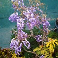 Garden and Gardening: Repotting Wisteria in spring