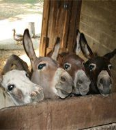 Miniature donkeys  Guess they're like potato chips: You can't have just one!