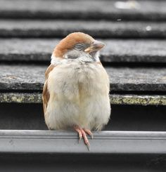 Sparrows are weaver finch birds. There are several species of sparrow, some of which are associated with living nearby settlements of people, such as cities, suburbs, and farms. Cute Birds, Pretty Birds, Beautiful Birds, Sparrow Nest, Sparrow Bird, Bird Tables, Fat Bird, Funny Animals, Cute Animals