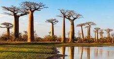 Los 20 árboles más raros del mundo ¡Increíble su belleza!