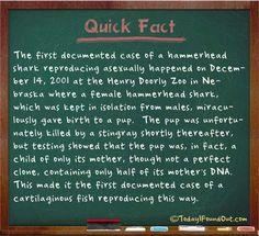 Cool fact about a Hammerhead Shark