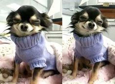 Long haired Chihuahua loving the new sweater.