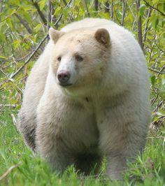 Kermode Bear | Kermode Bear Canada | Flickr - Photo Sharing!