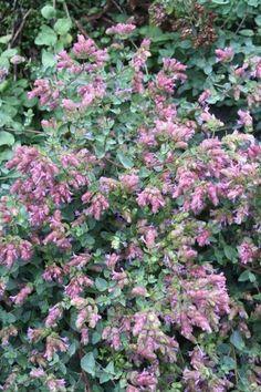 Origanum laevigatum 'Lizzie' Juniper Level Botanic Gdn, NC 