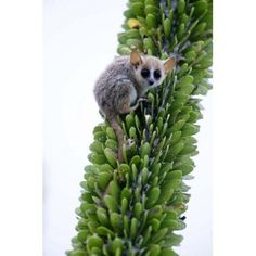 Close-up of a Grey Mouse lemur (Microcebus murinus) on a tree Berenty Madagascar Canvas Art - Panoramic Images (16 x 24)