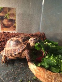 I have seen numerous suggestions for Russian tortoise diet Some great Some awful. Russian Tortoises are nibblers and appreciate broad leaf plants. Russian Tortoise Care, Tortoise As Pets, Tortoise Turtle, Ice Plant, Unusual Animals, Unusual Pets, Hens And Chicks, Pet Care Tips, Tortoises