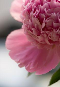 Pink Peony   by Lady Haddon