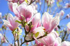 magnolia-324276_1280.jpg (1280×853)