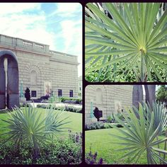 Stunning Silver Bismarck Palm planting outside of Renaissance Fashion, Italian Renaissance, Bismarck Palm, Freer Gallery, Planting, The Outsiders, United States, Museum, Landscape