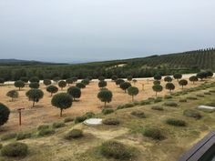 Chile's Mediterranean climate allows olives to reach optimum maturity and results in a true Extra Virgin Olive Oil #TasteChile