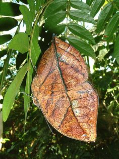 Dead Leaf Butterfly(Kallima inachus)
