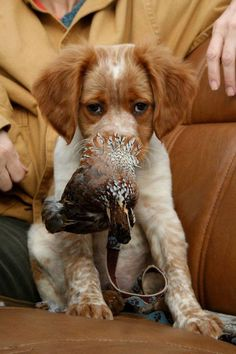 Brittany Spaniel Pup ~ Classic Look Grouse Hunting, Quail Hunting, Pheasant Hunting, Hunting Dogs, Hunting Stuff, French Brittany Spaniel, Brittany Spaniel Dogs, Englisch Springer Spaniel, Used Camping Gear