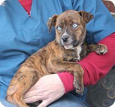 Prattville, AL - Labrador Retriever/American Bulldog Mix. Meet Chambray 21823, a puppy for adoption. http://www.adoptapet.com/pet/12223997-prattville-alabama-labrador-retriever-mix