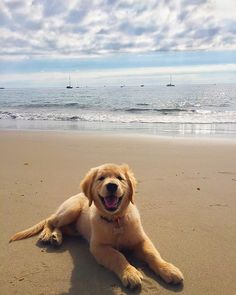 cute puppies at the beach / puppies at the beach . puppies at the beach golden retrievers . puppies on beach . cute puppies at the beach . cute puppies golden retriever the beach