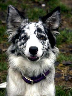Terrific No Cost Border Collies mirlo Style The particular Perimeter Collie hails on the borderlands regarding Britain plus Scotland (hence your title! Border Collie Azul, Perros Border Collie, Border Collie Colors, Border Collie Blue Merle, Australian Shepherds, West Highland Terrier, I Love Dogs, Cute Dogs, Scottish Terrier