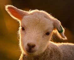 Shetland lamb, I think I need a couple of these for my back yard to play with my shelties!