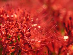 Red Lycoris or Naked Lady or Spider Lilies - represent a hopeless love . Associated with death. Poisonous enough to keep mice away :)