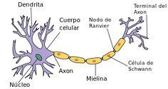 Dendrita - Wikipedia, la enciclopedia libre