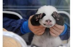 PANDA BABY. Need one now.