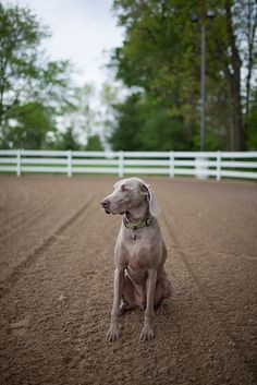 weimaraner - Looks just like Grady! I Love Dogs, Puppy Love, Dog Pictures, Animal Pictures, Blue Weimaraner, D Is For Dog, Mans Best Friend, Dogs And Puppies, Doggies