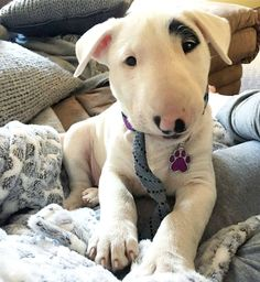 Mini Bull Terriers, Bull Terrier Puppy, English Bull Terriers, Baby Puppies, Cute Puppies, Dogs And Puppies, Corgi Puppies, Pet Dogs, Dog Cat