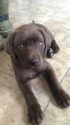 1000 Images About Chocolate Labs On Pinterest Chocolate
