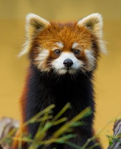 2 red panda cubs born in Chicago zoo | News24