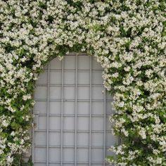 Zuiderse planten - Jasmijn klimplant